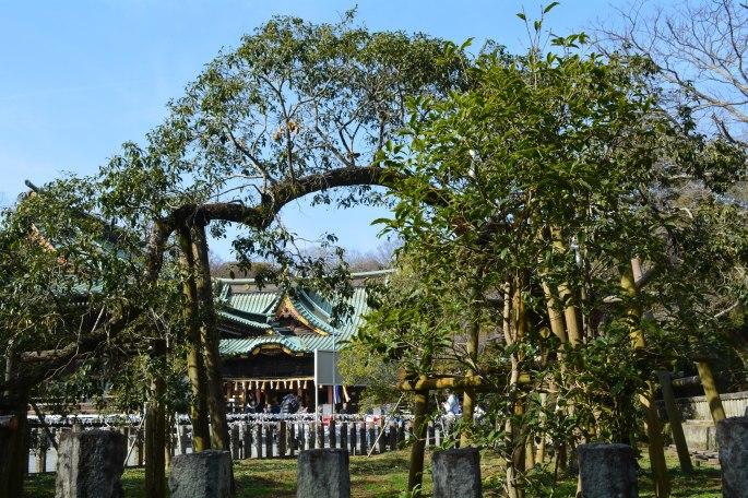1200 Year Old Kinmokusei (Osmanthus) at Mishima Taisha